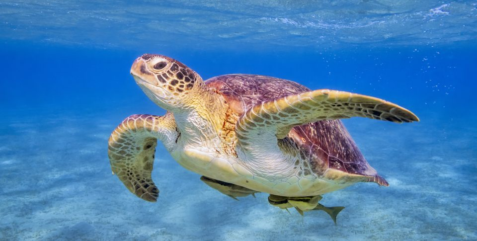 Swimming Green sea turtle in the Florida Keys