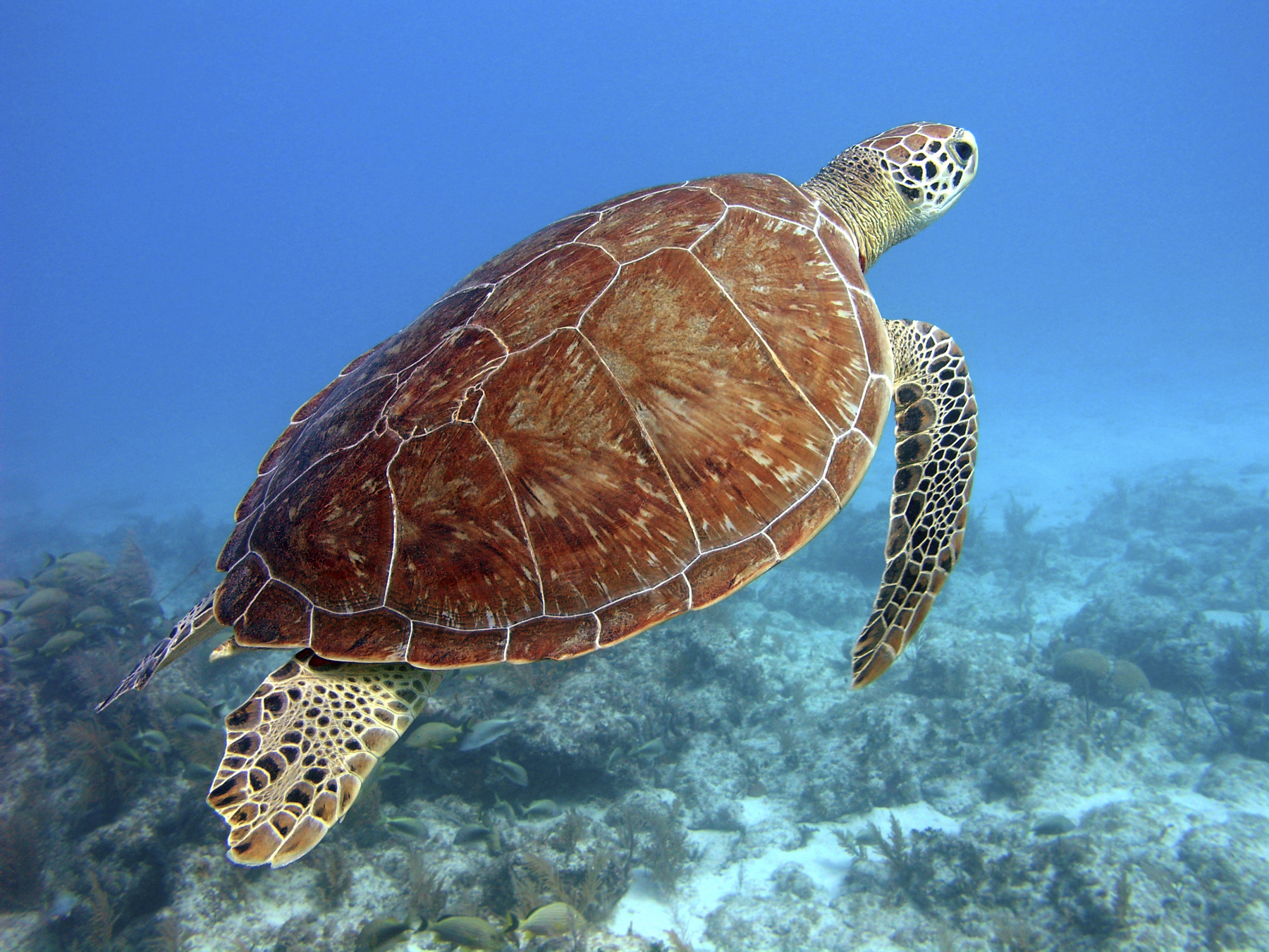 Green turtle, snorkeling in the Florida Keys