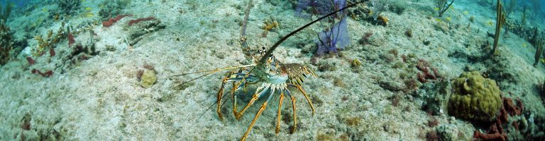 Florida spiny lobster on the sea bed